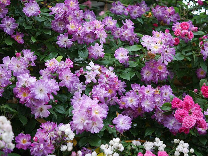 ブルーランブラー(Blue Rambler)の花が満開になった。ツルバラ。2020年-007.jpg