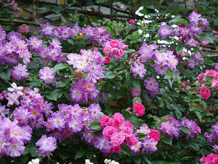 ブルーランブラー(Blue Rambler)の花が満開になった。ツルバラ。2020年-009.jpg