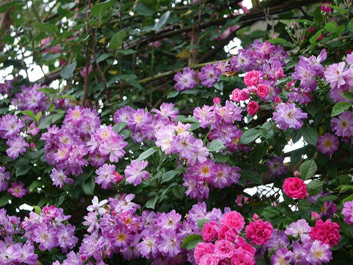 ブルーランブラー(Blue Rambler)の花が満開になった。ツルバラ。2020年-010.jpg
