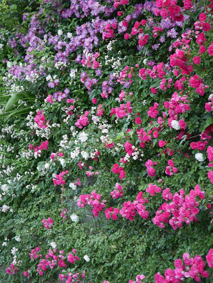 ブルーランブラー(Blue Rambler)の花が満開になった。ツルバラ。2020年-011.jpg