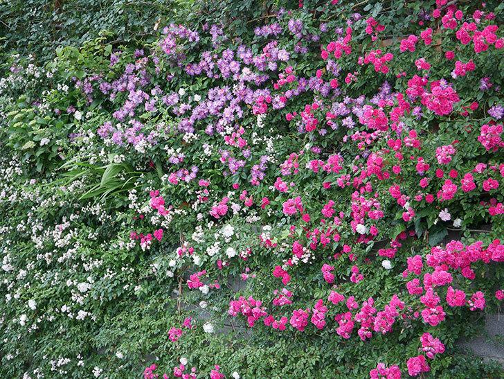 ブルーランブラー(Blue Rambler)の花が満開になった。ツルバラ。2020年-012.jpg
