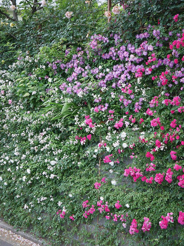 ブルーランブラー(Blue Rambler)の花が満開になった。ツルバラ。2020年-013.jpg