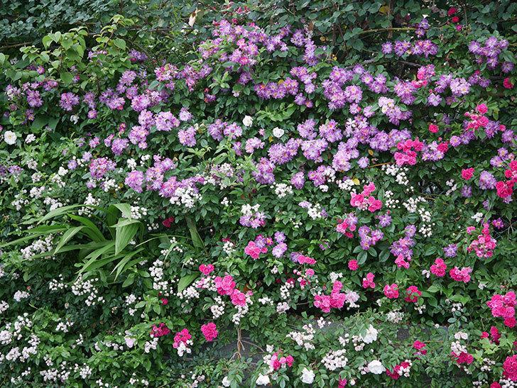 ブルーランブラー(Blue Rambler)の花が満開になった。ツルバラ。2020年-014.jpg