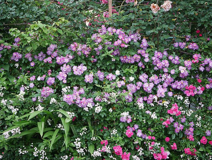 ブルーランブラー(Blue Rambler)の花が満開になった。ツルバラ。2020年-015.jpg