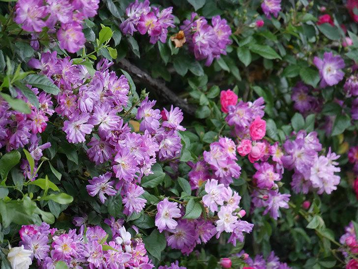 ブルーランブラー(Blue Rambler)の花が満開になった。ツルバラ。2020年-017.jpg