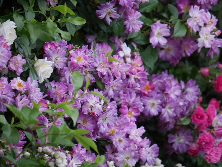 ブルーランブラー(Blue Rambler)の花が満開になった。ツルバラ。2020年-018.jpg