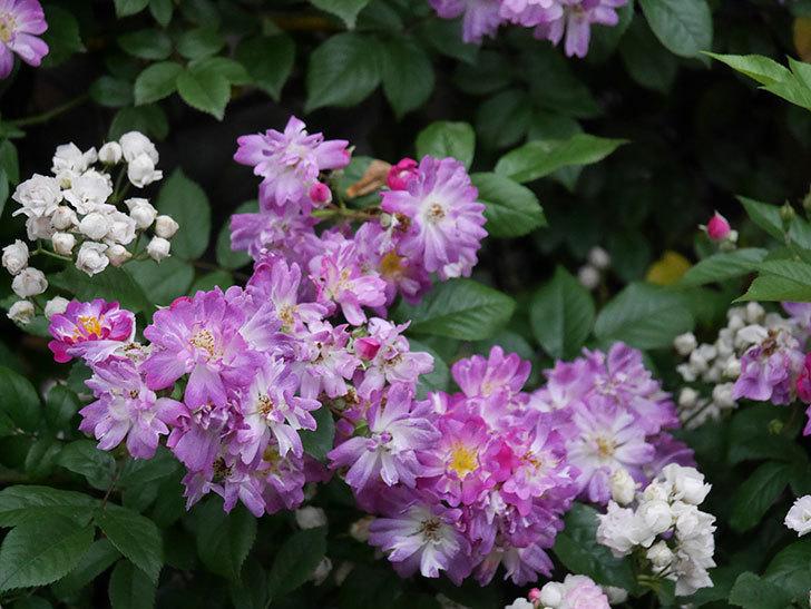 ブルーランブラー(Blue Rambler)の花が満開になった。ツルバラ。2020年-019.jpg