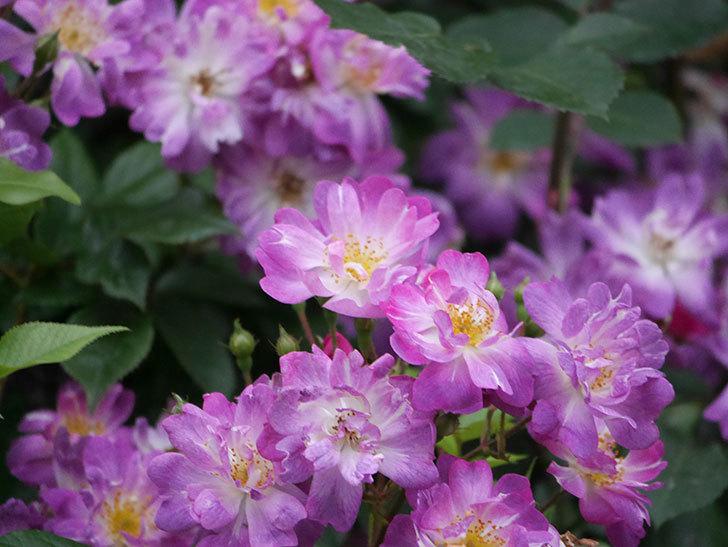 ブルーランブラー(Blue Rambler)の花が満開になった。ツルバラ。2020年-021.jpg