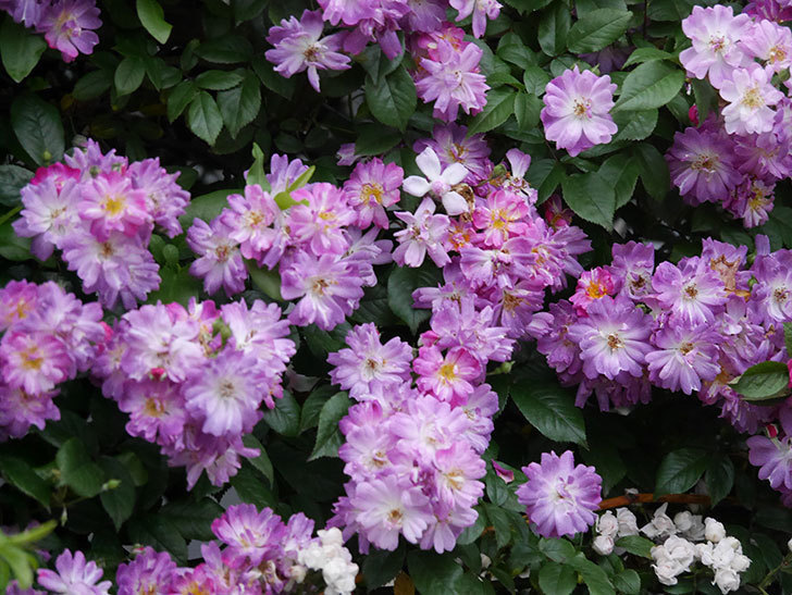 ブルーランブラー(Blue Rambler)の花が満開になった。ツルバラ。2020年-022.jpg