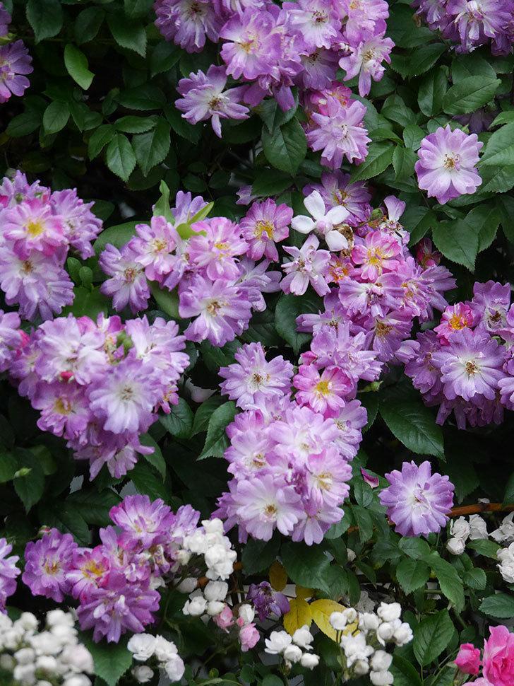 ブルーランブラー(Blue Rambler)の花が満開になった。ツルバラ。2020年-023.jpg