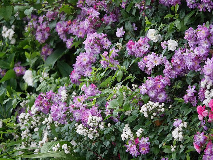 ブルーランブラー(Blue Rambler)の花が満開になった。ツルバラ。2020年-024.jpg