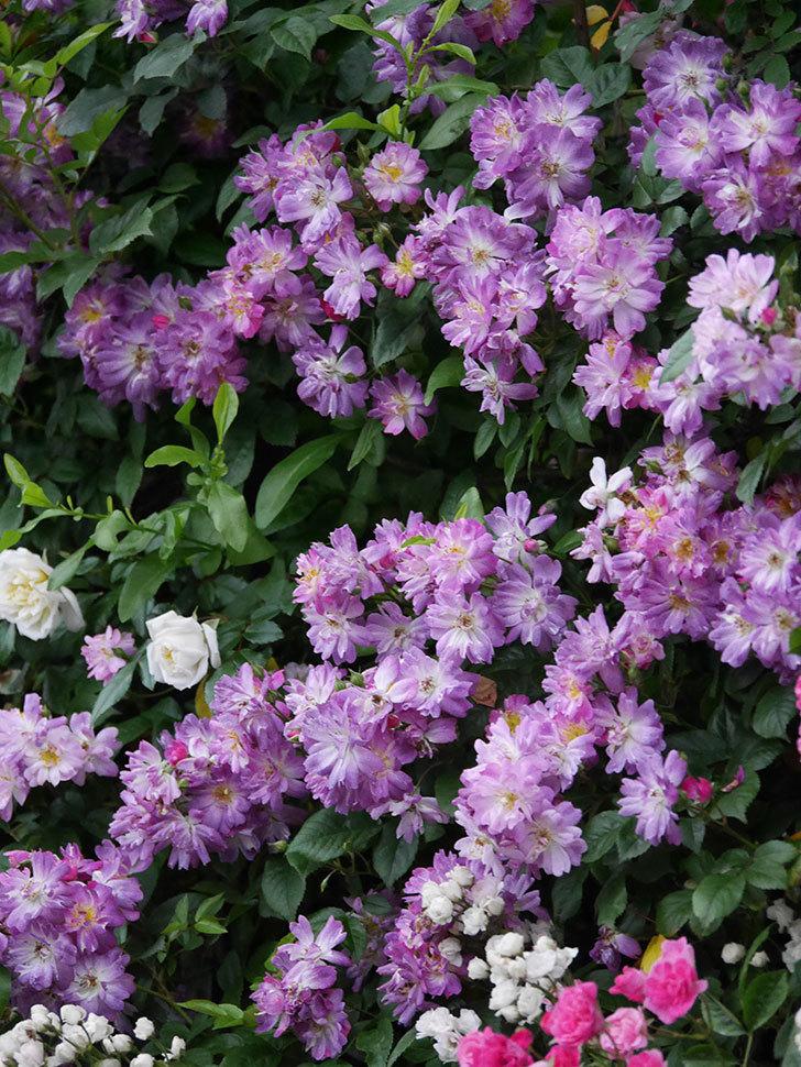 ブルーランブラー(Blue Rambler)の花が満開になった。ツルバラ。2020年-026.jpg