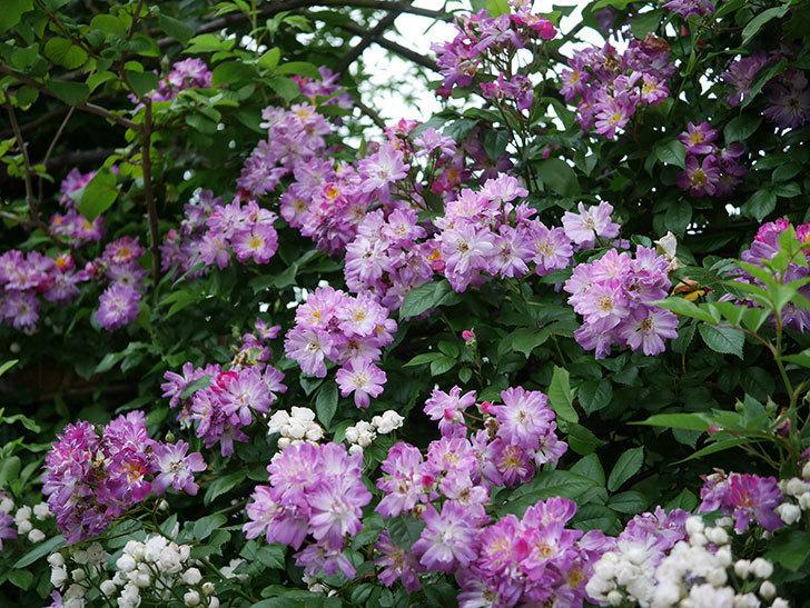 ブルーランブラー(Blue Rambler)の花が満開になった。ツルバラ。2020年-027.jpg