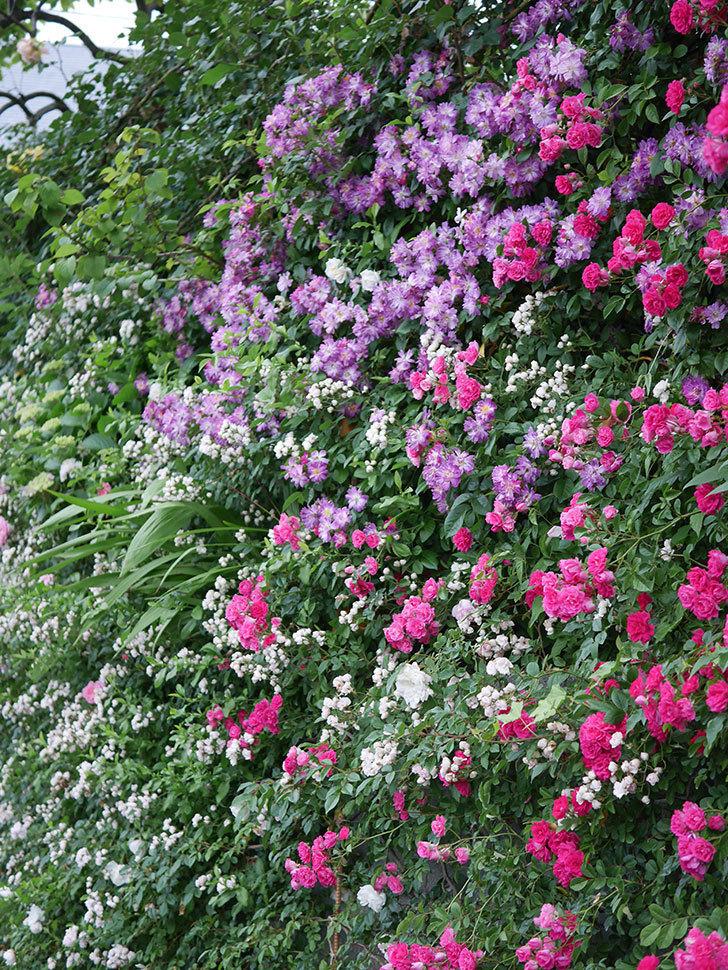 ブルーランブラー(Blue Rambler)の花が満開になった。ツルバラ。2020年-029.jpg