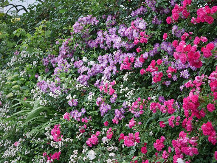 ブルーランブラー(Blue Rambler)の花が満開になった。ツルバラ。2020年-030.jpg