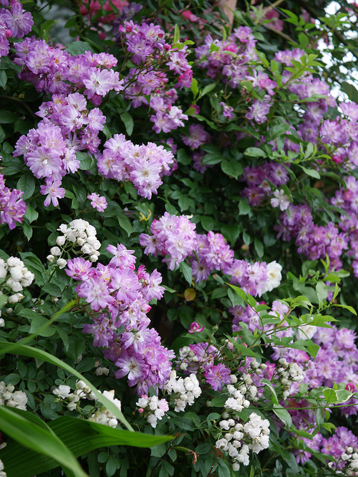 ブルーランブラー(Blue Rambler)の花が満開になった。ツルバラ。2020年-032.jpg