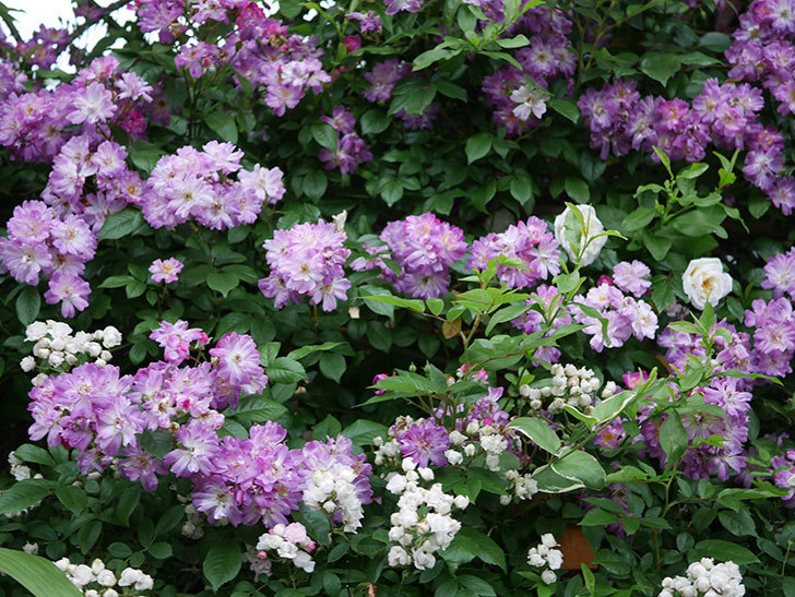 ブルーランブラー(Blue Rambler)の花が満開になった。ツルバラ。2020年-033.jpg