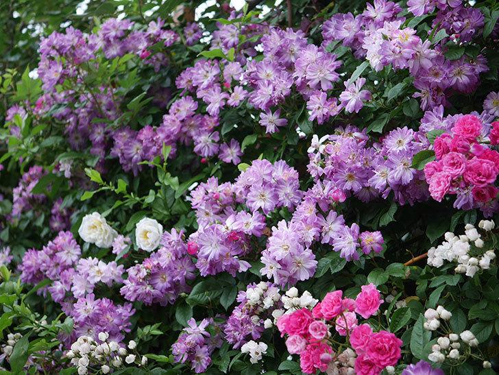 ブルーランブラー(Blue Rambler)の花が満開になった。ツルバラ。2020年-034.jpg