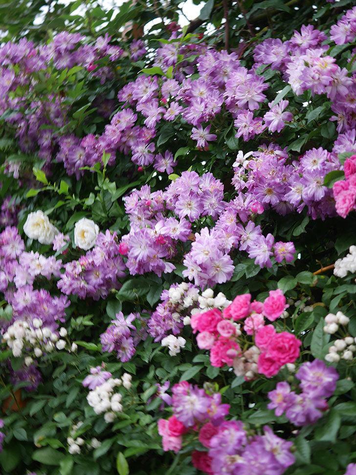 ブルーランブラー(Blue Rambler)の花が満開になった。ツルバラ。2020年-035.jpg