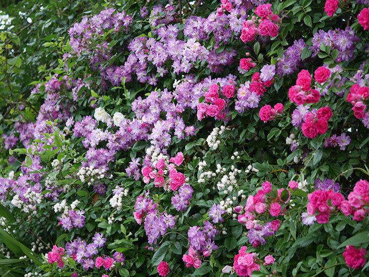 ブルーランブラー(Blue Rambler)の花が満開になった。ツルバラ。2020年-036.jpg