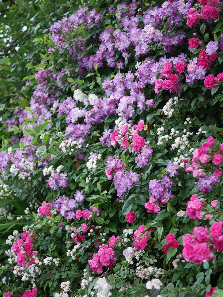 ブルーランブラー(Blue Rambler)の花が満開になった。ツルバラ。2020年-037.jpg