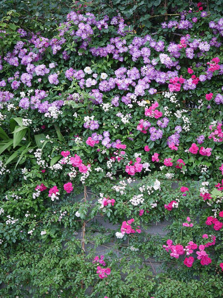 ブルーランブラー(Blue Rambler)の花が満開になった。ツルバラ。2020年-038.jpg
