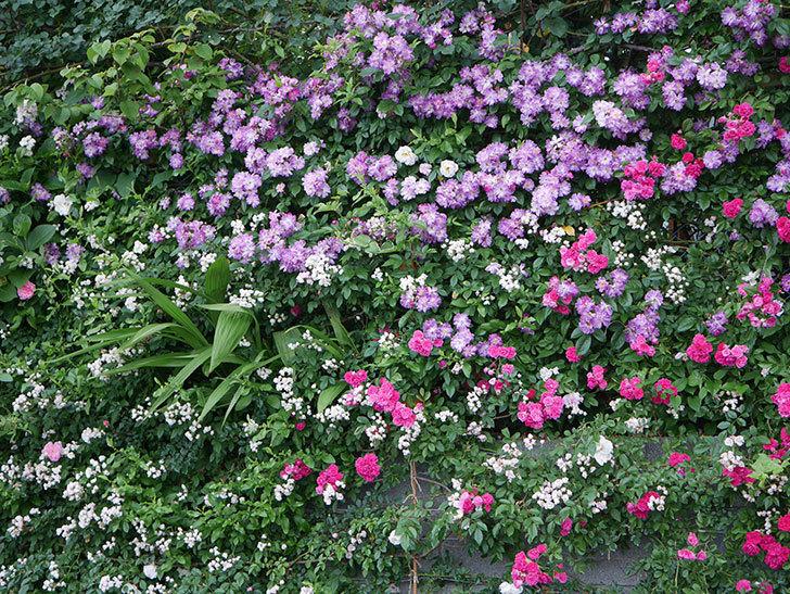 ブルーランブラー(Blue Rambler)の花が満開になった。ツルバラ。2020年-039.jpg