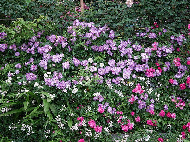 ブルーランブラー(Blue Rambler)の花が満開になった。ツルバラ。2020年-040.jpg
