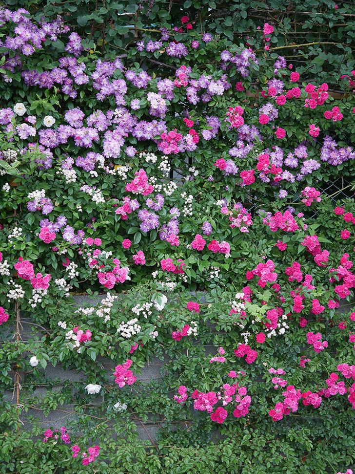 ブルーランブラー(Blue Rambler)の花が満開になった。ツルバラ。2020年-041.jpg