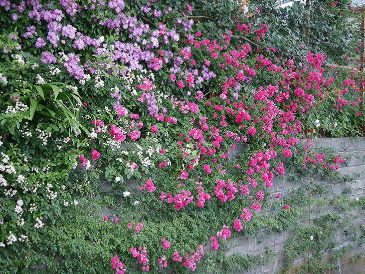 ブルーランブラー(Blue Rambler)の花が満開になった。ツルバラ。2020年-042.jpg