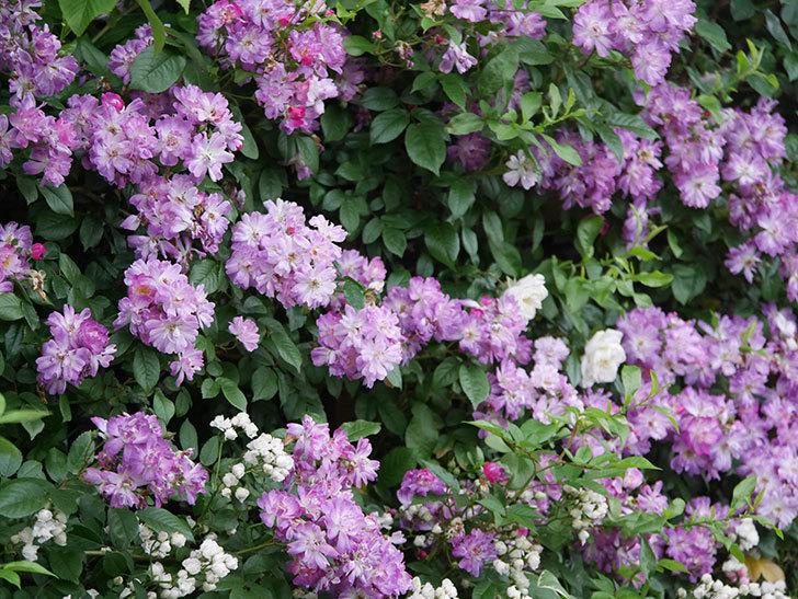 ブルーランブラー(Blue Rambler)の花が満開になった。ツルバラ。2020年-043.jpg