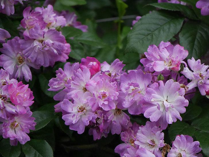 ブルーランブラー(Blue Rambler)の花が満開になった。ツルバラ。2020年-044.jpg