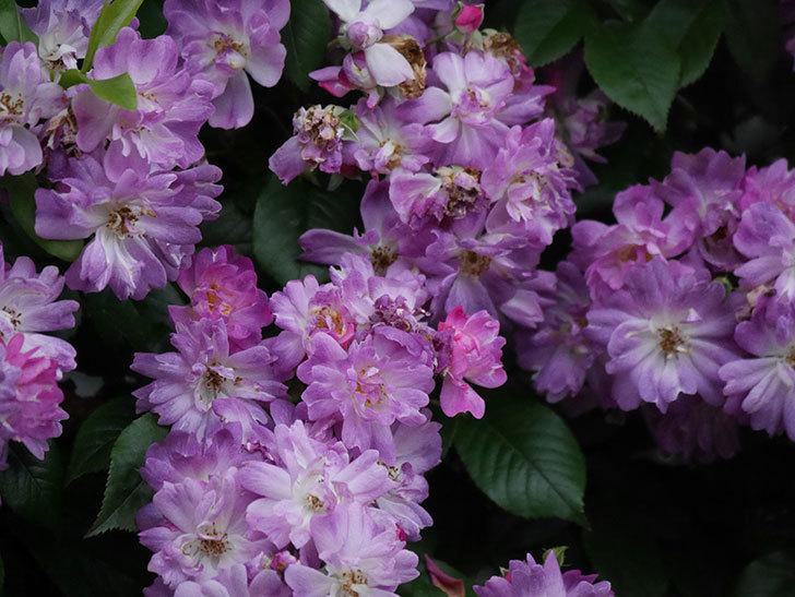 ブルーランブラー(Blue Rambler)の花が満開になった。ツルバラ。2020年-045.jpg