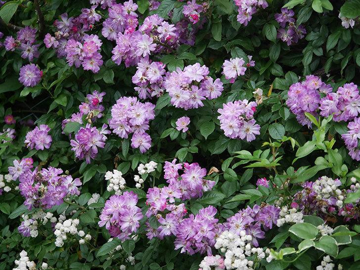ブルーランブラー(Blue Rambler)の花が満開になった。ツルバラ。2020年-046.jpg