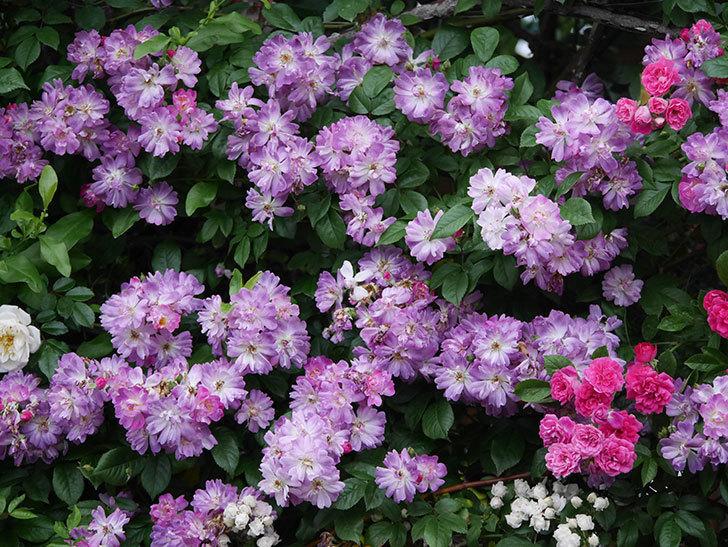 ブルーランブラー(Blue Rambler)の花が満開になった。ツルバラ。2020年-047.jpg
