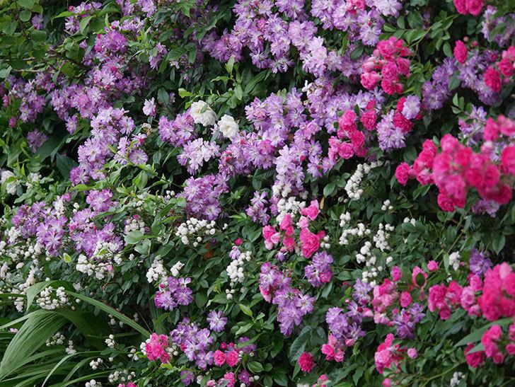 ブルーランブラー(Blue Rambler)の花が満開になった。ツルバラ。2020年-048.jpg