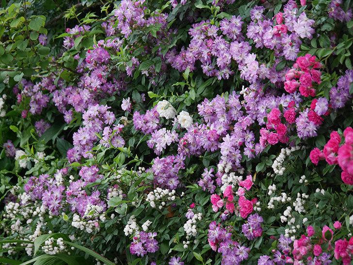 ブルーランブラー(Blue Rambler)の花が満開になった。ツルバラ。2020年-049.jpg