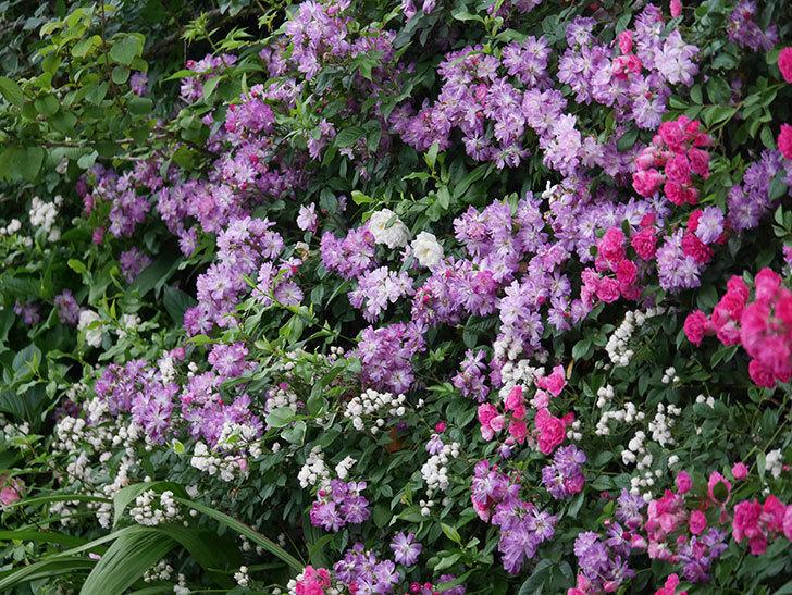 ブルーランブラー(Blue Rambler)の花が満開になった。ツルバラ。2020年-050.jpg