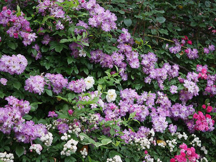 ブルーランブラー(Blue Rambler)の花が満開になった。ツルバラ。2020年-051.jpg
