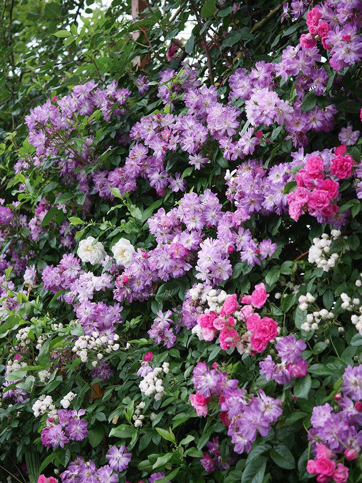 ブルーランブラー(Blue Rambler)の花が満開になった。ツルバラ。2020年-052.jpg