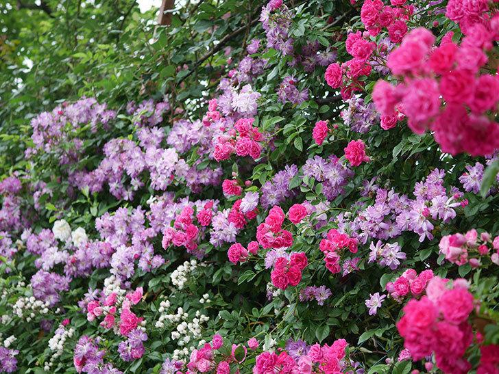 ブルーランブラー(Blue Rambler)の花が満開になった。ツルバラ。2020年-053.jpg