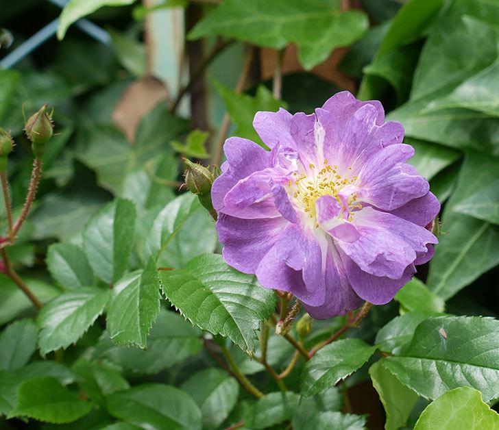 ブルーランブラー(ツルバラ)が咲きだした。2017年-1.jpg