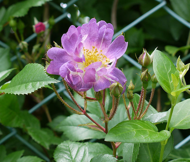 ブルーランブラー(ツルバラ)が咲きだした。2017年-2.jpg