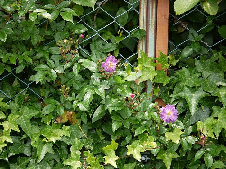 ブルーランブラー(ツルバラ)が咲きだした。2017年-4.jpg