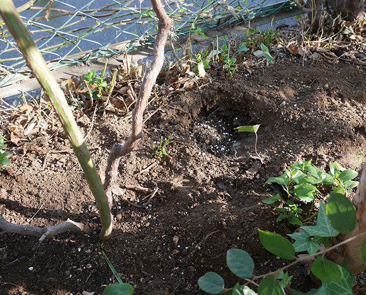 ブルーランブラー(ツルバラ)に寒肥を施した。2019年-5.jpg