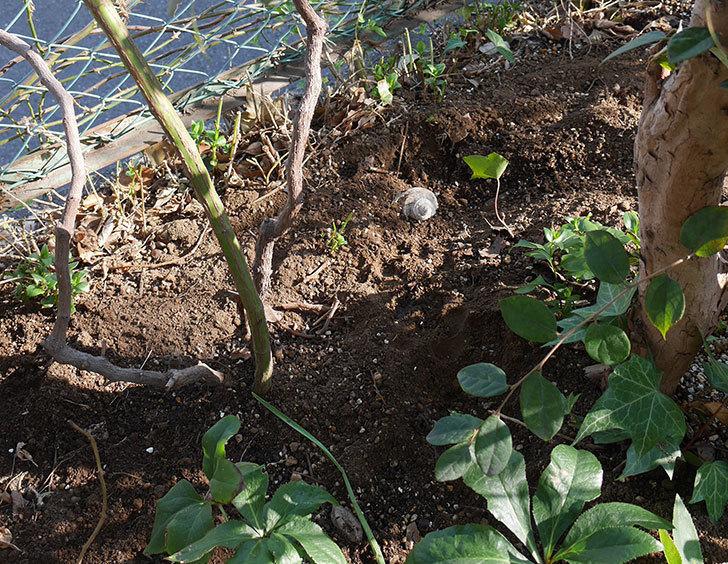 ブルーランブラー(ツルバラ)に寒肥を施した。2019年-6.jpg