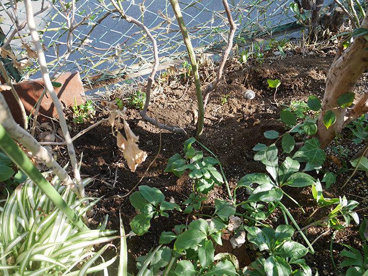 ブルーランブラー(ツルバラ)に寒肥を施した。2019年-7.jpg