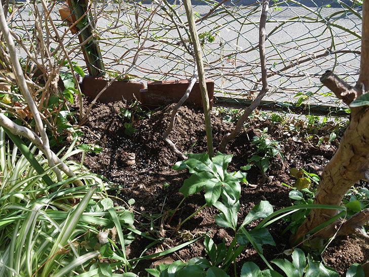 ブルーランブラー(ツルバラ)に寒肥を施した。2020年-2.jpg