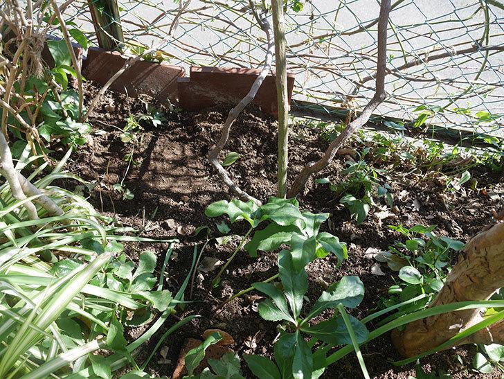 ブルーランブラー(ツルバラ)に寒肥を施した。2020年-5.jpg