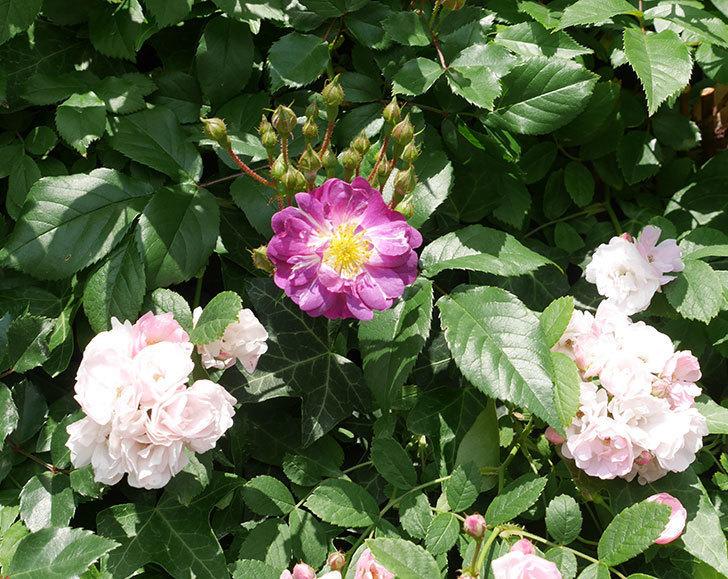 ブルーランブラー(ツルバラ)の花が1個咲いた。2018年-1.jpg